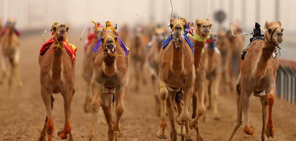 camel racing robots in dubai