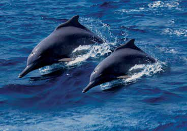Playful Dolphins in the Musandam Fjords